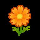 orange cosmos(10)