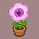 pink-windflower plant
