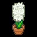 white-hyacinth plant