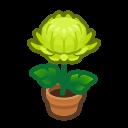 green-mum plant
