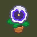 white-pansy plant