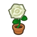 white-rose plant