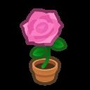 pink-rose plant