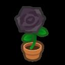 black-rose plant