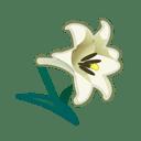 white lilies(10)